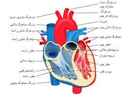 پاورپوینت فیزیولوژی قلب: الکتروکاردیوگرام و تحلیل آن